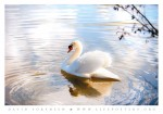 Nature image photography of bird - swan