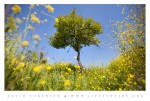 Nature picture of yellow flowers and single tree in summer