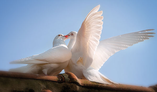 nature canvas prints doves kissing