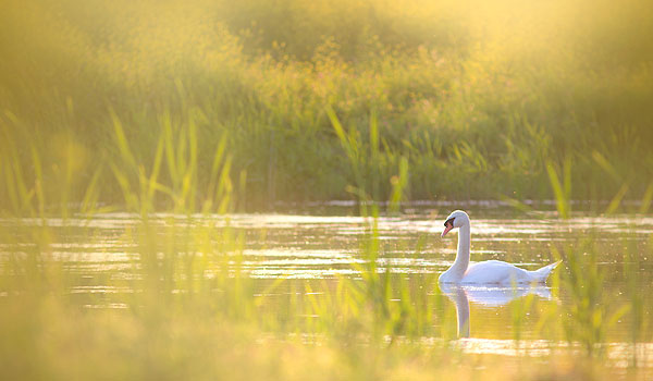 nature canvas prints male swan green